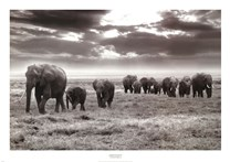 Amboseli Elephants