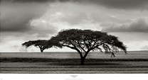 Acacia Trees