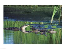 Group of American Alligators in water