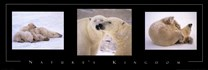 Nature's Kingdom-Polar Bears