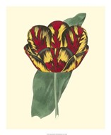 Antique Tulip III