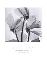 Cyclamen Study No.1 Fine-Art Print