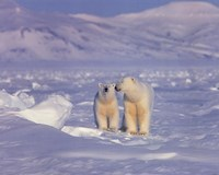 Polar Bears Fine-Art Print