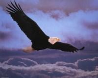 Bald Eagle In Flight Fine-Art Print