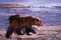 Brown Bear Carrying Cub, Alaska Fine-Art Print