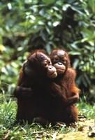 Orangutans Fine-Art Print