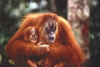 Orangutan And Baby Wall Poster
