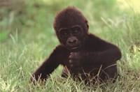 Gorilla Baby Fine-Art Print
