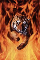 Bengal Tiger Jumping Flames Wall Poster
