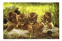 Baby Tiger Wall Poster