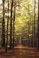Forest Path Wall Poster