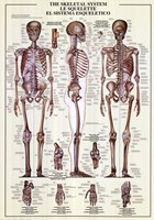 Skeletal System Wall Poster