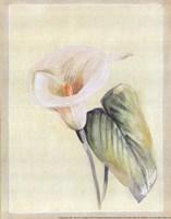 Calla Lily II Fine-Art Print