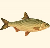 Small Antique Fish VI Fine-Art Print
