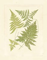 Ferns with Platemark VI Fine-Art Print