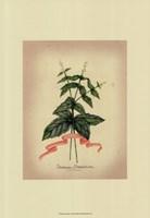 Herb Series IV Fine-Art Print