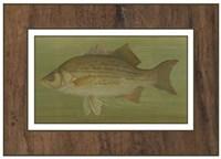 White or Silver Bass Fine-Art Print