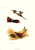 Pheasants Fine-Art Print