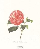 Camellia Goubernativa Fine-Art Print