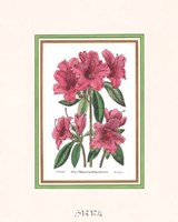 Azalea No. 2 Fine-Art Print
