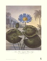 The Blue Egyptian Water-Lily Fine-Art Print