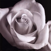 Open Rose Fine-Art Print