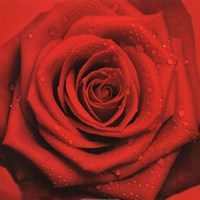 Red Rose Fine-Art Print