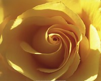 Yellow Rose Fine-Art Print