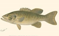 Small-mouthed Black Bass Fine-Art Print