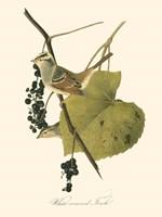Audubon's Finch Fine-Art Print