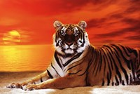 Tiger - sunset Wall Poster