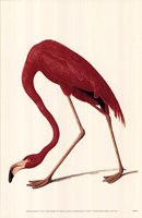 Greater Flamingo Fine-Art Print