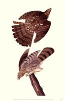 Cooper S Hawk Fine-Art Print