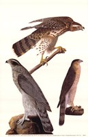 Northern Goshawk Fine-Art Print