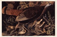 Wild Turkey Female Fine-Art Print