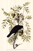 American Crow Fine-Art Print