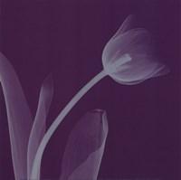 Tulipsilver (Sm) Fine-Art Print