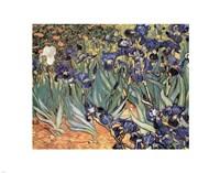 Irises in the Garden, Saint-Remy, c.1889 Fine-Art Print