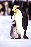 Penguin - Maternal Moment Wall Poster