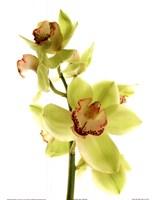 Pale Orchid Fine-Art Print