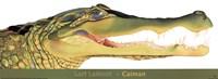 Caiman Fine-Art Print