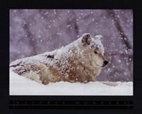 Grey Wolf Fine-Art Print