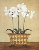 Amaryllis In Checkered Vase Fine-Art Print