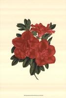 Blooming Azalea III Fine-Art Print