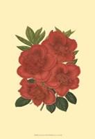Blooming Azalea IV Fine-Art Print