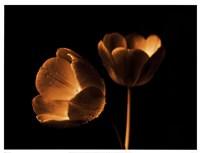 Tulip Duo Fine-Art Print