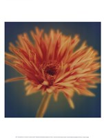 Chrysanthemum on Turquoise Fine-Art Print
