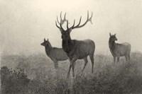 American Elk Fine-Art Print