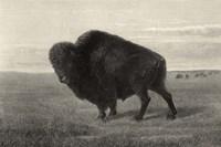 American Bison Fine-Art Print
