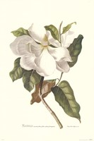Magnolia Maxime Flore Fine-Art Print